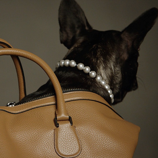 Lady Gaga's pooch is the star of Coach's latest campaign