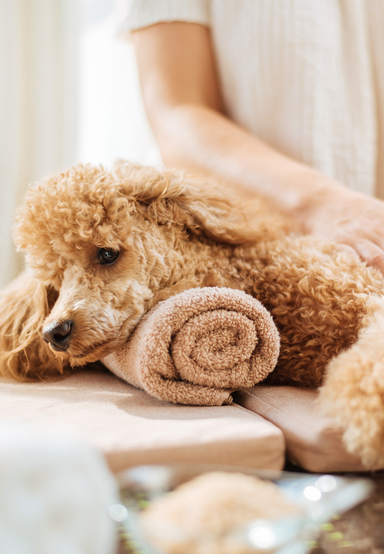 You can now get a couples massage with your dog
